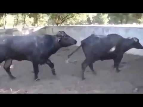 Animals Mating New | The Real The Cruel Bull Cow Mating:  Animals Mating New | The Real The Cruel Bull Cow Mating