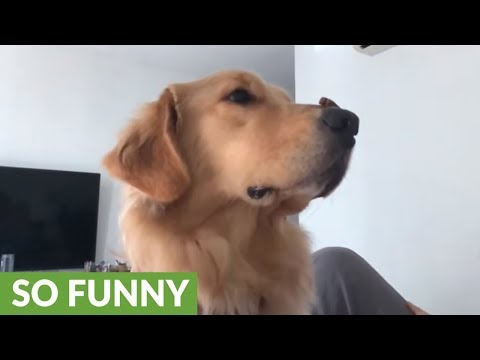 la-golden-retriever-che-si-esercita-in-slow-motion