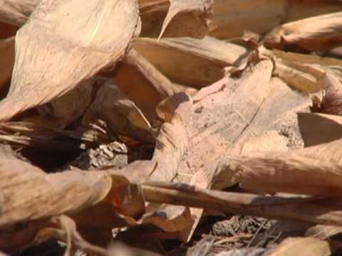drought - Read, listen and learn English with a 30 minute VOA documentary about the 2012 drought in the United States.
