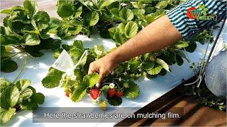 স্ট্রবেরি (Strawberry)...