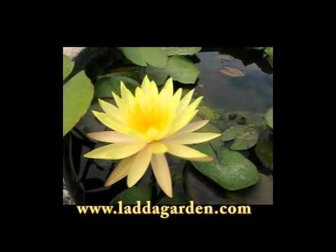 Nymphaea  yellow  queen