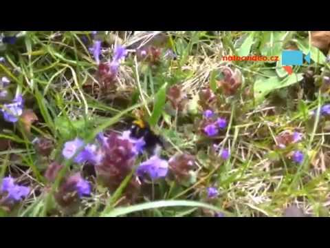 Čmelák -sbíráním nektaru doplňuje energetické zásoby v těle