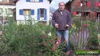 #204 Hydrangeasy Pinky Winky - Hydrangea paniculata