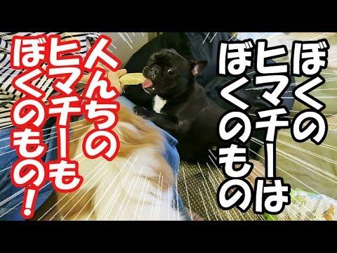 ヒマチ―って人間が食べたらどんな味?犬友達のお家に遊びに行こ …
