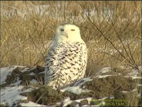 Fjlluggla - Fjlluggla. Vstmanland Mars 2001, Snowy Owl in Sweden, AROS FILM Fotograf: Gunnar Fernqvist.