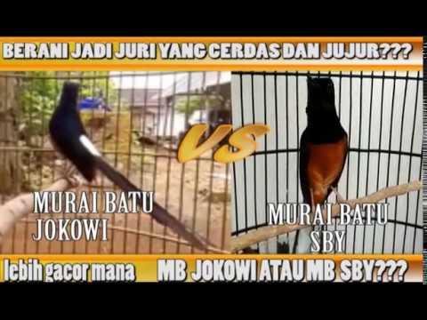 Download Video Murai Batu Jokowi VS Murai Batu SBY, Lebih Gacor Mana??? [ Nama Burung Hanya Pemanis Saja]