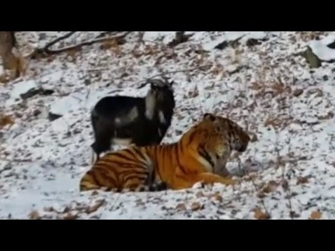 Miraculous friendship between a tiger and a goat!
