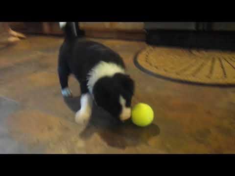 Border Collie Puppy Luna