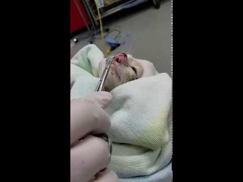 這位主人帶「鼻子腫得超大」的小貓去看獸醫,結果從鼻子裡取出來的「噩夢級生物」連獸醫都嚇到了!