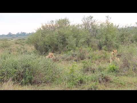Lion-Hyena Interaction over a wildebeest kill