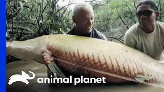 What lured a man to his murky, underwater demise? Jeremy Wade's investigation leads to the monstrous Arapaima, a massive ...