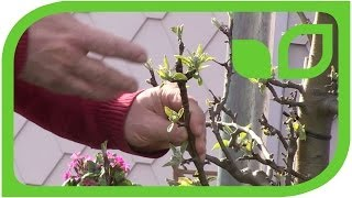 How to prune an older Malini tree (columnar apple tree)