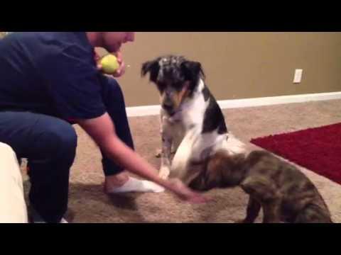 un cucciolo sta imparando dei trucchetti: guardate cosa fa il suo amico!