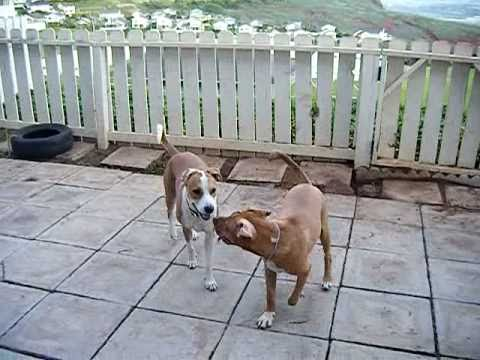 Brutal Pitbull dogfight...WARNING!!!!! (Play fighting)