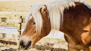 Los caballos son la pasión de muchas personas que aman su fuerza, coraje, velocidad, nobleza, además de muchos otras características. Y en las razas más costosas alguna o varias de estas cualidades pueden verse potenciadas o resultar particulares por lo que se vuelven más codiciadas, especialmente si son razas finas. Estas son algunas de las razas de caballos más finas del mundo: caballo Árabe, caballo Morgan, caballo Tennessee Walking, caballo Pura Sangre, caballo Apalusa, caballo miniatura, caballo Irish Cob, poni Galés.Fondo musical: Bravura (Youtube Free audio library)Imágenes: pixabay.com (video) (2); wikipedia.org (9)***Videos recientes: https://tutovariedades.comListas de reproducción: https://listas.tutovariedades.comSuscríbete: https://sub.tutovariedades.comADVERTENCIA: Las imágenes podrían ser solamente ilustrativas y no corresponderse con la realidad. No se puede garantizar que la información consignada en este video sea verífida, y debe ser considerada como una obra literaria de caracter educativo y/o con fines de promoción.ACERCA DEL CANAL: tutovariedades es un canal especializado en videos de curiosidades, misterios, animales y, en síntesis, todo lo más extraño, raro, curioso e increíble del mundo. Desde temas de cultura como ciencia y tecnología o casos de superación y motivación que te harán pensar y reflexionar, hasta historias de miedo y horror que te pondrán los pelos de punta como ovnis, fantasmas y enigmas, pasando por hombres y mujeres sorprendentes, famosos de cine y televisión, records y tops.Todo un mundo de entretenimiento con la verdadera historia de hechos, lugares  y personas. Así que ¡qué esperas! Sólo suscríbete y siéntate a disfrutar del mejor contenido de variedades y lo mejor: en un solo sitio, con narración profesional estilo locutor e imágenes de alta calidad.