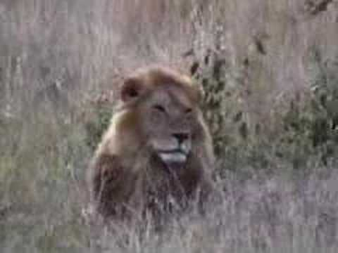 Safari - Here is a video clip from my safari in Kenya. The video was filmed at three locations: Masai Mara, Lake Nakuru, and Samburu. I used a Canon ZR-20 miniDV came...