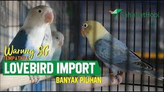 Video Warung SG : TEMPATNYA LOVEBIRD IMPORT BANYAK PILIHAN MP3, 3GP, MP4, WEBM, AVI, FLV Desember 2018