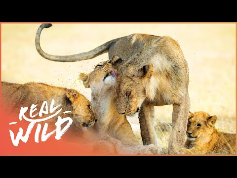 Lions Feeding Of Injured Baby Elephant [Lion Pride Documentary] | Real Wild