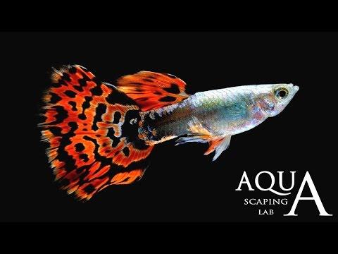 acquariofilia - guppy (poecilia reticulata)