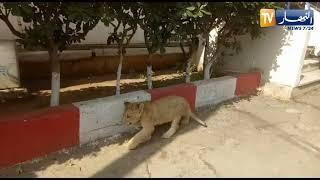 توقيف 19 مشتبه به في سرقة شبلين من قاعة البيطرة بحديقة الحامة !!