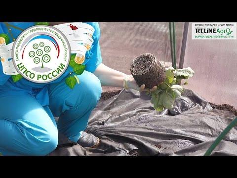 Выращиваем ремонтантную землянику в теплице осенью.