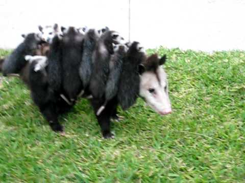 Opossum Carrying Her Babies...and you think your kids are a pain!