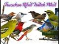 Download Lagu Suara Trucukan Ribut dan Burcil Untuk Pikat Mp3 Free