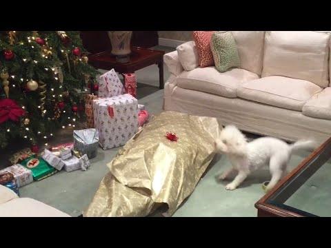 incredibile regalo ad un cane per natale. cosa c'è nel pacco?