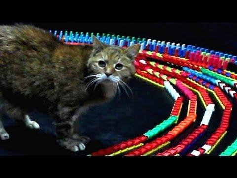 當骨牌圍著貓咪連環倒時,貓咪的反應竟然這麼可愛!