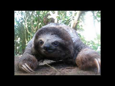 樹懶竟然發動攻擊了,太可怕了!膽小勿看!!