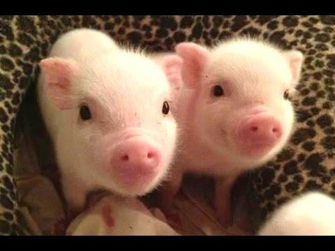這些小豬也太好笑了吧!到底.... 到底能不能讓我也養一隻啊!!