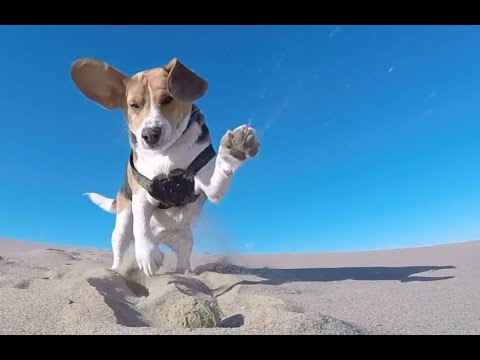 funny beagle at the beach