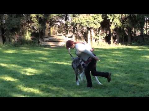 Dogdancing Great dane dog – Unique Brilliant Mirez Bohemia