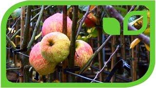 Wie schnell fruchten unsere Paradis Apfelbäume