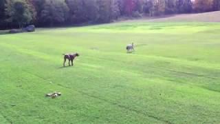 Dog Stalks Wolf