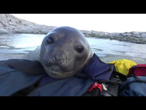Baby elephant seal is amazed at the sight of humans