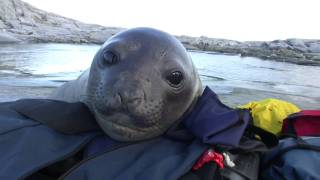 This Curious Baby Elephant Seal Is Going To Steal Your Hear