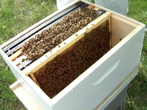 Bee Charmer's Honey places their first hive into action…the transfer.