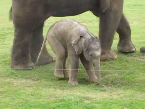 elephant - Cute video of a baby elephant, newborn, getting used to standing upright and stepping on his trunk. Whipsnade Zoo, Bedfordshire, UK.