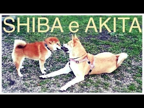 shiba gioca con akita inu