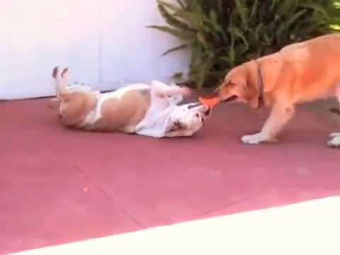 Bulldog vs Golden Retriever
