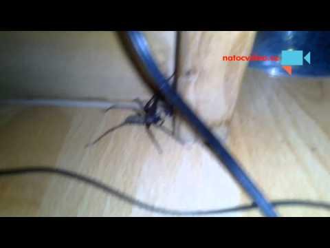 Obří pavouk u mě v pokoji