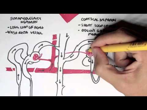 What are Nephrons?