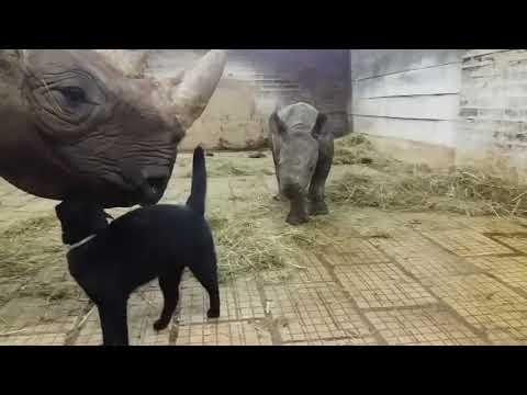Черный кот знакомится с носорогами