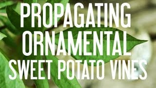 Ornamental sweet potato vines are easy to grow garden annuals in many parts of the country. These tubers produce long, beautiful vines and attractive foliage.