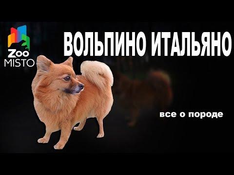 Вольпино Итальяно - Все о породе собаки
