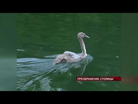 В Гагаринском парке появились лебеди