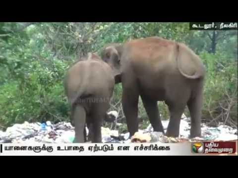 Elephants-search-their-food-in-garbages-due-to-disaster-of-nature