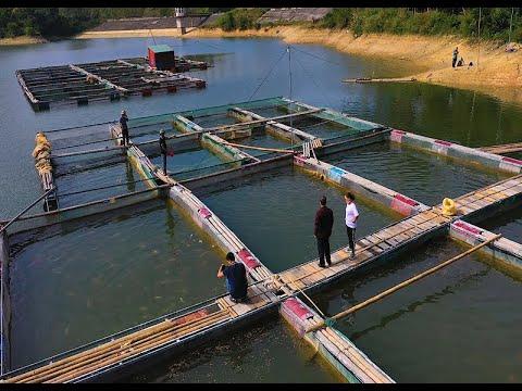 Phát triển nghề nuôi cá lồng bè góp phần phát triển kinh tế - xã hội địa phương