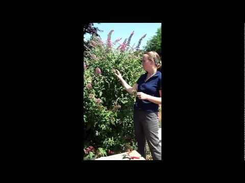 How to Propagate a Butterfly Bush